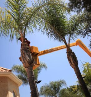 Palm Tree Trimming-Vista CA Tree Trimming and Stump Grinding Services-We Offer Tree Trimming Services, Tree Removal, Tree Pruning, Tree Cutting, Residential and Commercial Tree Trimming Services, Storm Damage, Emergency Tree Removal, Land Clearing, Tree Companies, Tree Care Service, Stump Grinding, and we're the Best Tree Trimming Company Near You Guaranteed!