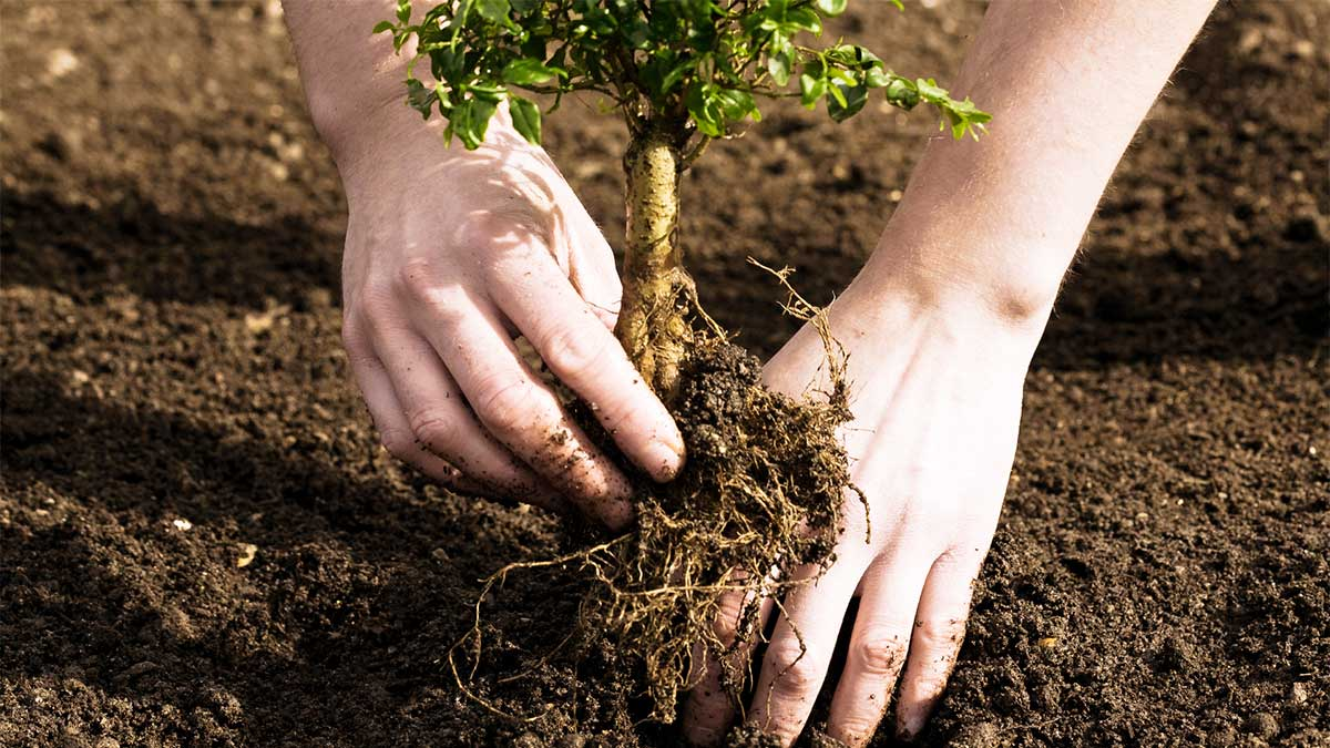 Tree Planting-Vista CA Tree Trimming and Stump Grinding Services-We Offer Tree Trimming Services, Tree Removal, Tree Pruning, Tree Cutting, Residential and Commercial Tree Trimming Services, Storm Damage, Emergency Tree Removal, Land Clearing, Tree Companies, Tree Care Service, Stump Grinding, and we're the Best Tree Trimming Company Near You Guaranteed!
